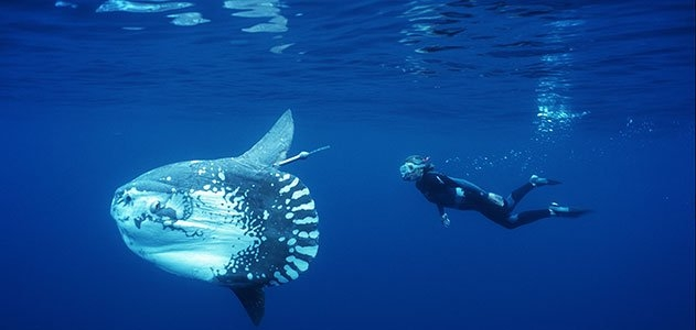 Picture of a Giant Sunfish
