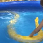 Picture about Little Girl Swims With Large Burmese Python - Video