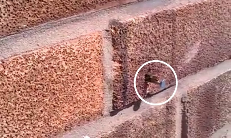 Picture of Super Bee Pulls a Nail Out of Brick Wall, Video