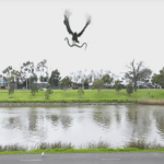 Picture about Hawk Drops a Snake at a Family BBQ in Australia, Video