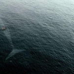 Picture of Small Boat in Ocean With a Giant Blue Whale Below the Surface