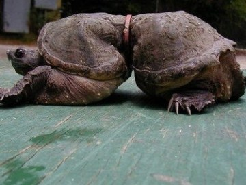 Picture of Deformed Turtle After Growing Up With Plastic Ring Around It