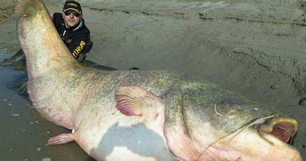 Picture Suggesting Remains of a Nazi Officer Found Inside Stomach of a 100-Year Old Giant Catfish