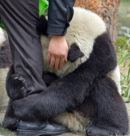 Terrified Panda Hugging Police Officer S Leg After Earthquake Fact Check
