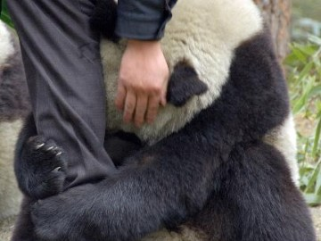 Picture Suggesting Terrified Panda Hugging Police Officer's Leg After an Earthquake