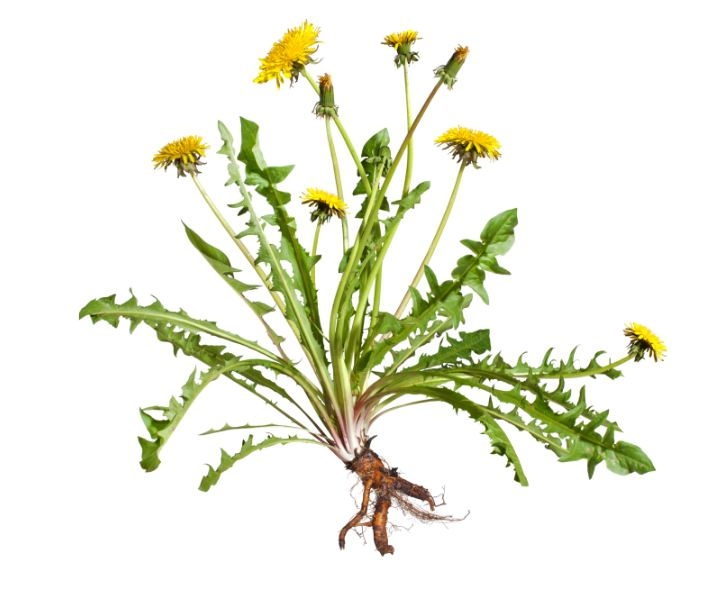 Picture Suggesting Magic Root Dandelion Kills Cancer Cells, Helps in Diabetes and Liver Ailments