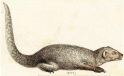 Picture of Mongoose