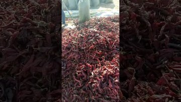 Picture about Rat Infested Dried Chillies Video Warning