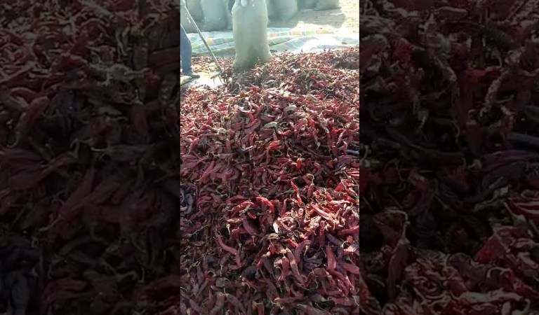 Rat Infested Dried Chillies Video Warning: Fact Check