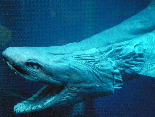Image of a Frilled Shark with long, terminally positioned jaws.