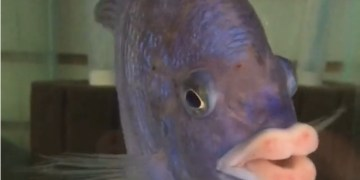 Image of Amusing Fish Having Lips Like Humans