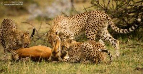 Image of Cheetahs eventually killed the Impala