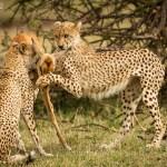 Image of Cheetahs Kill Impala