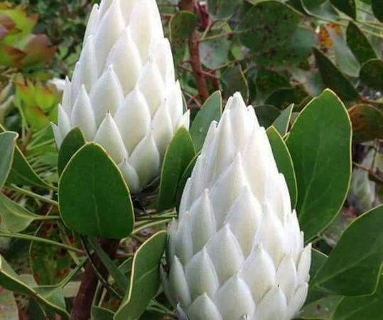 Mahameru Pushpam Rare Himalayan Flower Blooms Once in 400 Years: Fact Check
