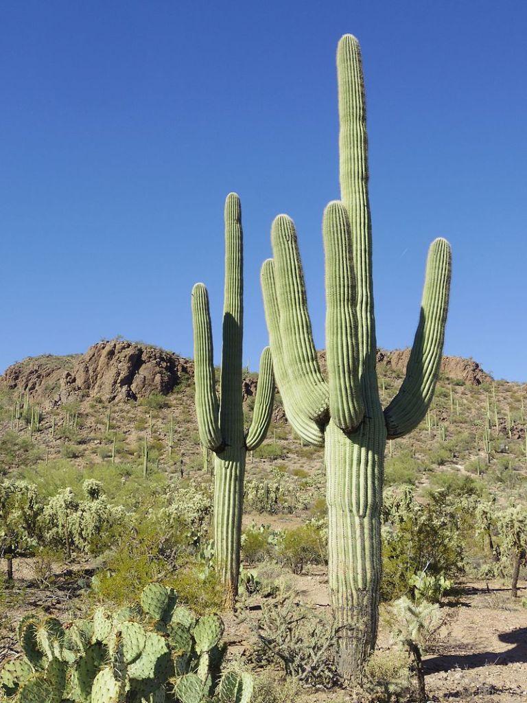 Image of Cactus species Carnegiea gigantea (Saguaro)