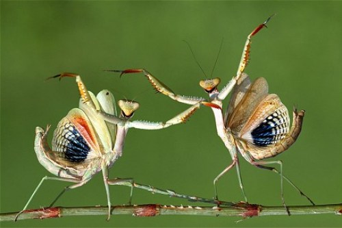 Another similar picture of two Mantises 'dancing'
