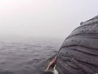 Great White Shark Eating Humpback Whale, Picture