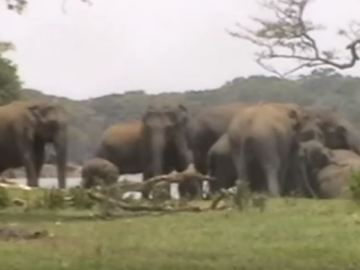 Image of Heartbreaking Moment of Elephants Mourning, Video