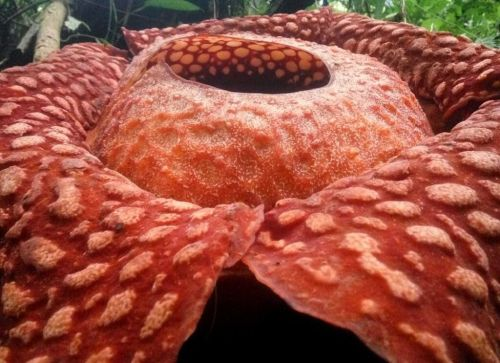 Image of Rafflesia tuan-mudae, one of the world's largest flowers