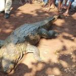 Image of Death of Crocodile Gangaram in Chhattisgarh