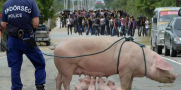 Image about Hungarian Police Using Pigs to Keep Off Muslims from Border