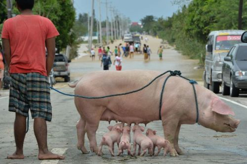 Original picture of a Philippine resident standing with his rescued sow and suckling piglets after a Typhoon