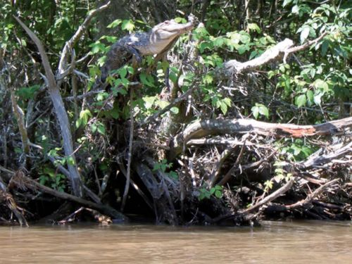 Image Showing Alligators and Crocodiles Can Climb Trees