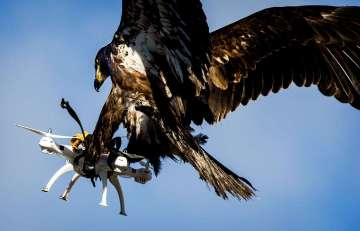 Picture Showing Eagle Catches a Drone in Mid-Air