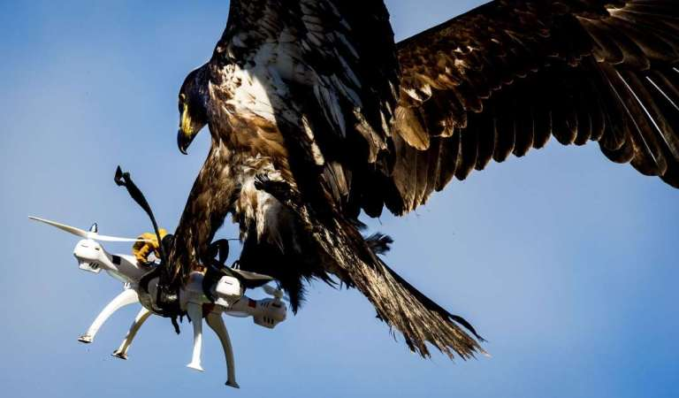 Picture Showing Eagle Catches a Drone in Mid-Air: Fact Check