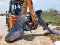 Image of 18 Feet Shark Fish Found Dead in Tamil Nadu