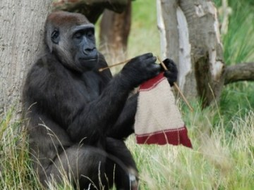 About Picture of Gorilla Discovered Knitting at National Zoo
