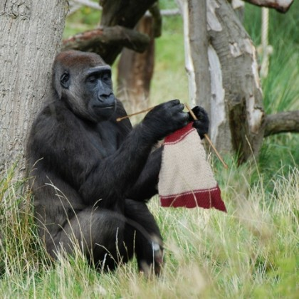 Picture of Gorilla Discovered Knitting at National Zoo: Fact Check