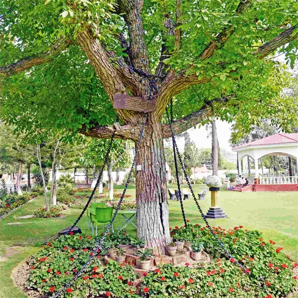 Image of Tree Under Arrest in Pakistan for More than 100 Years