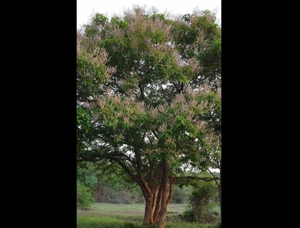 Picture of World's Largest 'Tulsi Tree' from Karnataka Hills: Fact Check