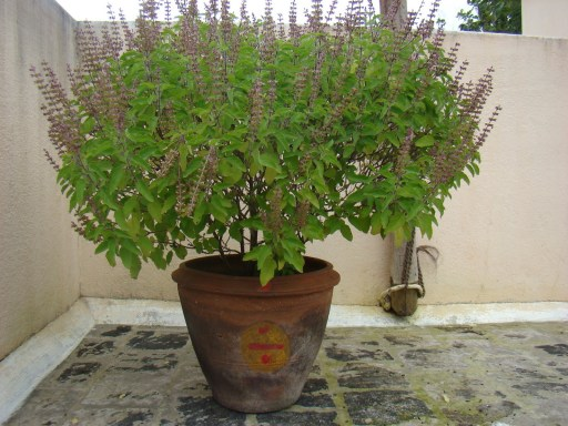 Image of Tulsi plant with flowering