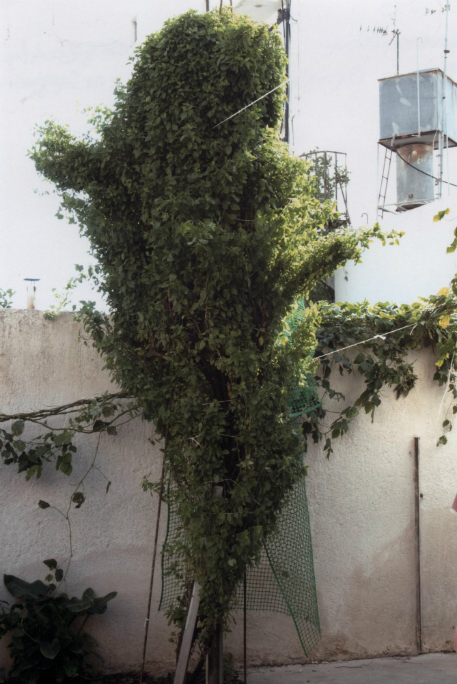 Image of Tallest Basil plant (Tulsi) in Greece