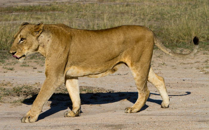 Original Image of Lioness