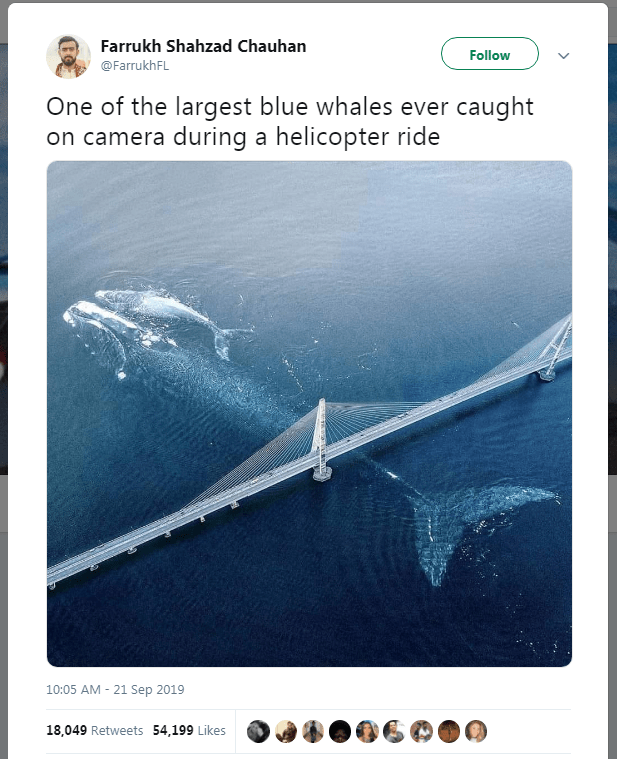 About Largest Blue Whale Caught from Helicopter Camera, Picture