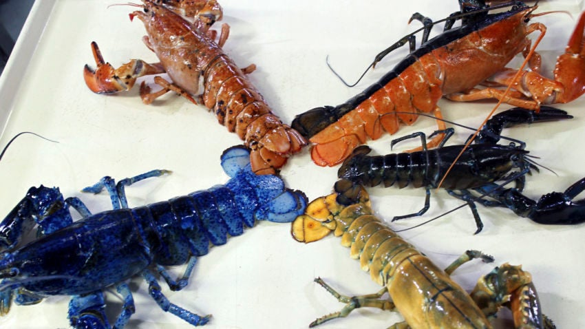 Image of Different color lobsters