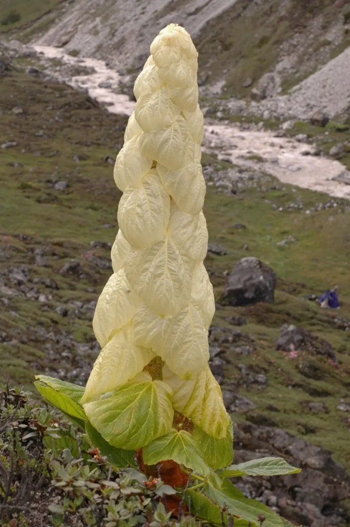 Image of Rheum nobile, a giant herbaceous plant native to the Himalayas