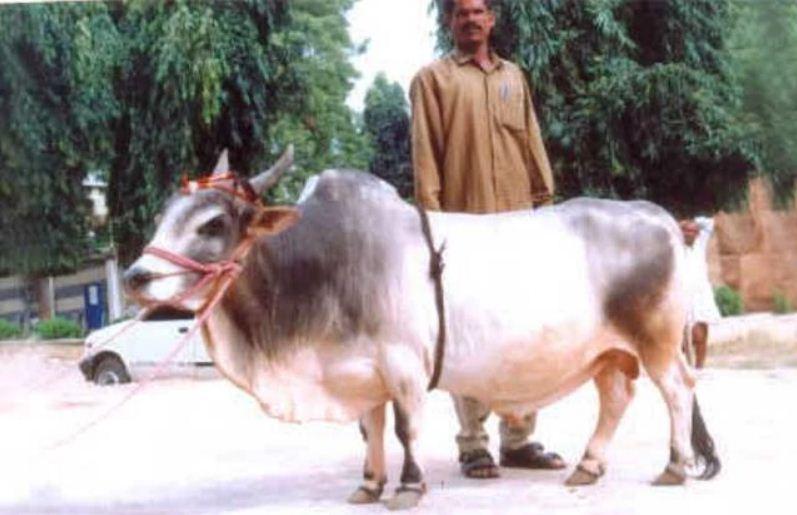 Image of Punganur dwarf breed cow
