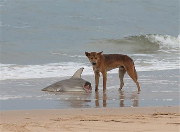 Image of Wild Dingo eating a Shark on a beach of Australia