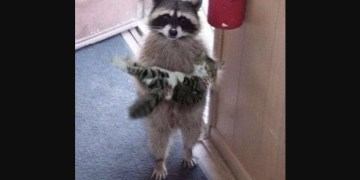 About Raccoon Carrying a Cat or Kitten in Its Arms, Photograph