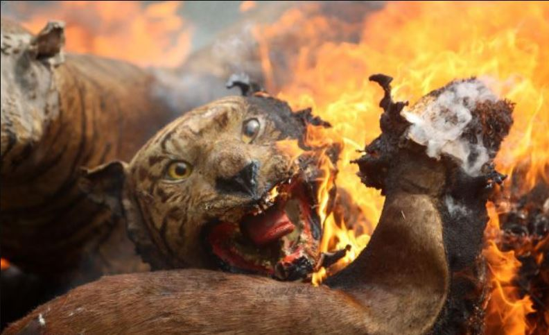 Image about Burning Tiger in Bushfires of Australia