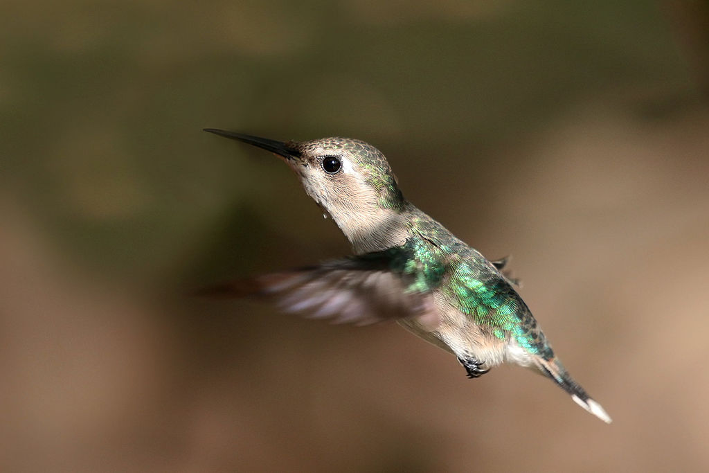 Image of Bee hummingbird (Melisuga helenae) female, Cuba