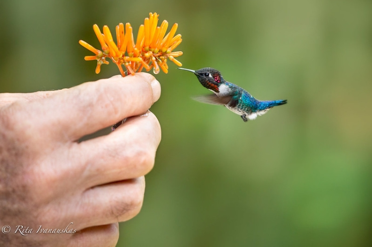Image of World's Smallest Bird Zunzuncito, Bee Hummingbird
