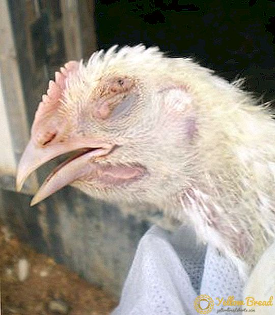 Image of Broiler chicken infected with Aspergillosis, a fungal disease