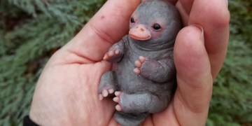 Image about Cute and Adorable Platypus Baby, Photograph