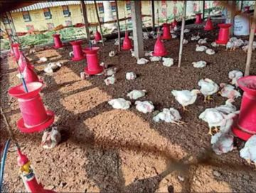 Image of Thousands of Chicken Die to Viral Disease in Godavari Districts