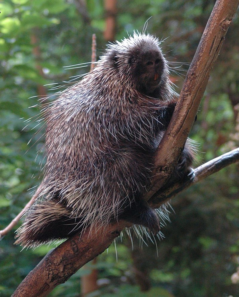 Image of a North American Porcupine